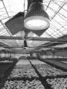 경기도, 국내 최초 국화재배 LED 개발